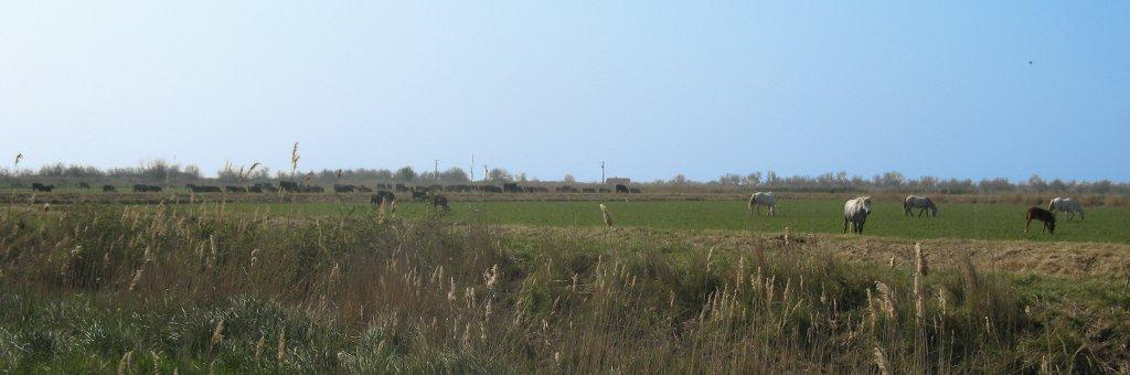 Chevaux et taureaux de Camargue